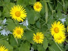 calendula(0.0), sunflower(0.0), marguerite daisy(0.0), herb(0.0), annual plant(1.0), flower(1.0), yellow(1.0), plant(1.0), wildflower(1.0), flora(1.0), oxeye daisy(1.0),