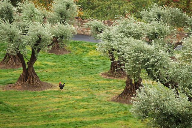 Hen Among Olive Trees Castello Di Amorosa Napa Valley Ca Flickr Photo Sharing