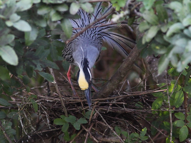 Yellow-crowned Night-Heron male building nest 20140307