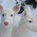 Albino Whitetail Deer   Just the Two of Us in Winter
