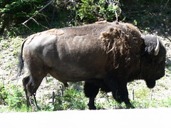 cattle-like mammal(1.0), animal(1.0), water buffalo(1.0), bull(1.0), mammal(1.0), horn(1.0), grazing(1.0), fauna(1.0), muskox(1.0), bison(1.0), pasture(1.0),