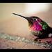 Hummingbird by isayx3