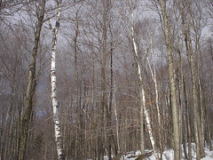 white trees, clouds, snow