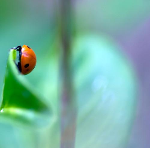 garden insect virginia v periwinkle ladybug canon100mmmacro virgie canon40d imago2007