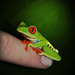 Portrait of a Red-Eyed Tree Frog