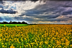 sunflower(0.0), vegetable(0.0), grass(0.0), produce(0.0), food(0.0), sunset(0.0), canola(1.0), prairie(1.0), agriculture(1.0), horizon(1.0), cloud(1.0), flower(1.0), field(1.0), yellow(1.0), sunlight(1.0), mustard plant(1.0), plain(1.0), plant(1.0), wildflower(1.0), crop(1.0), meadow(1.0), rapeseed(1.0), rural area(1.0), grassland(1.0), sky(1.0),