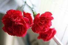 carnation, flower, red, plant, petal,