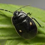 kétpettyes földipoloska - Adomerus biguttatus