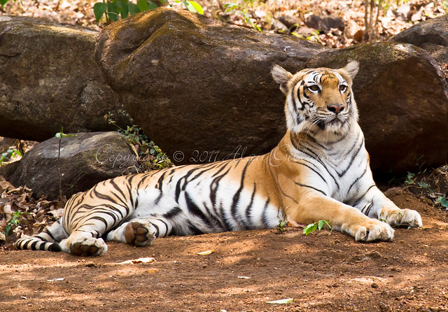 Tiger resting in the shade at Bondla wildlife sanctuary India.