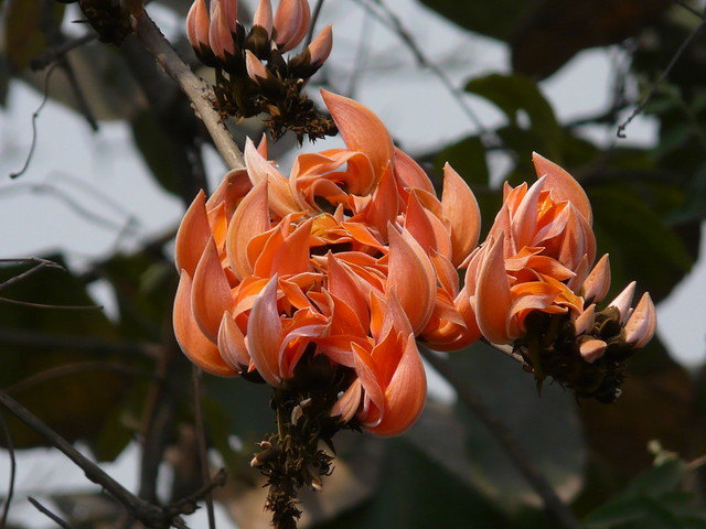Butea monosperma (Lam.) Taub. | Palash (Hindi: पलाश) is ... Palash Flower In Hindi