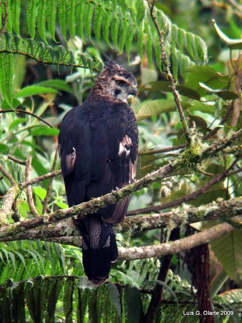 Falconiformes. Família  Acciptridae - Subfamília Buteonidade- Gaviões de penacho. genêro SPIZAETUS 3336005017_35caff6811_z