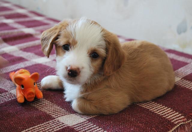 幼犬由于近亲繁殖而有的特征及病症