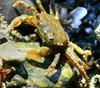 baby_crab2