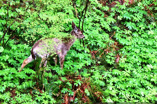 dear deer: please don't eat the trillium flowers    MG 1978