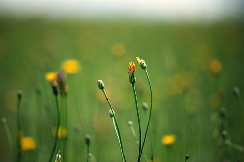 sky macro green field yellow clouds canon happy weeds bright bokeh wide sunny dandelion pasture 70200mm isusm eos5dmarkii