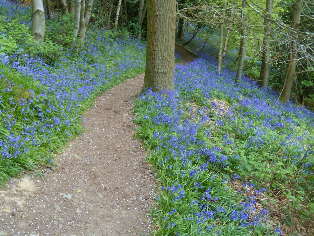 Bluebell path Hurst Green to Westerham