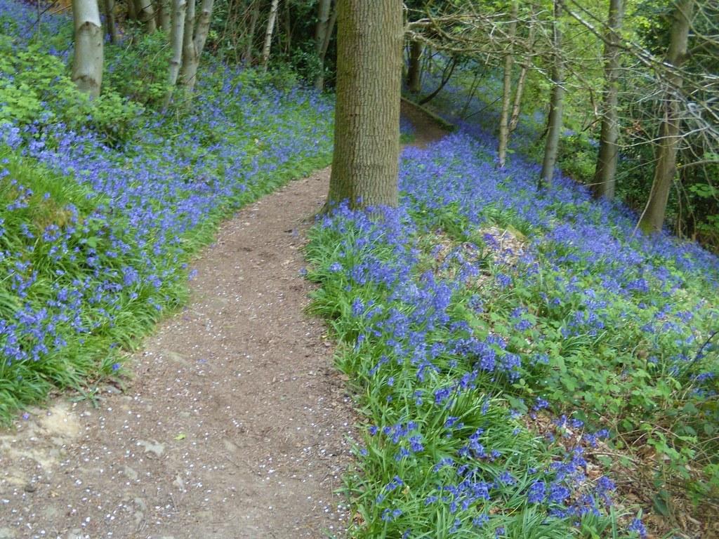 Bluebell path Hurst Green to Westerham