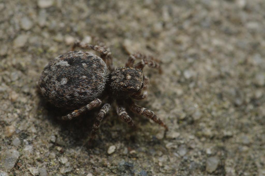 Sitticus pubescens (f)