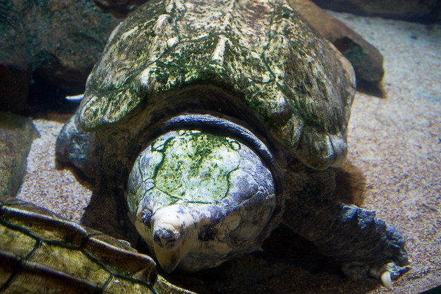 ... Snapping Turtle at the Oklahoma Aquarium Flickr - Photo Sharing