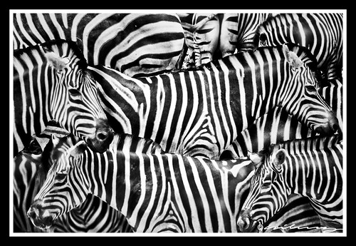 Zebras Too Many in Monochrome
