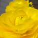 Small photo of Yellow ranunculus
