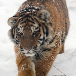 Amur Tiger, Panthera tigris altaica-Cub Walking