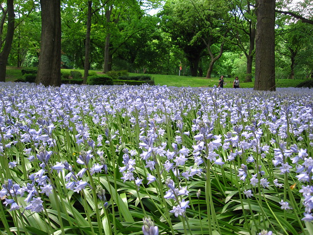 More than 45,000 bluebells (Hyacinthoides hispanica 'Excelsior') burst into bloom in Bluebell Wood at BBG. Photo by Rebecca Bullene