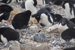 233 Brown Bluff  Adeliepinguins met kuikens