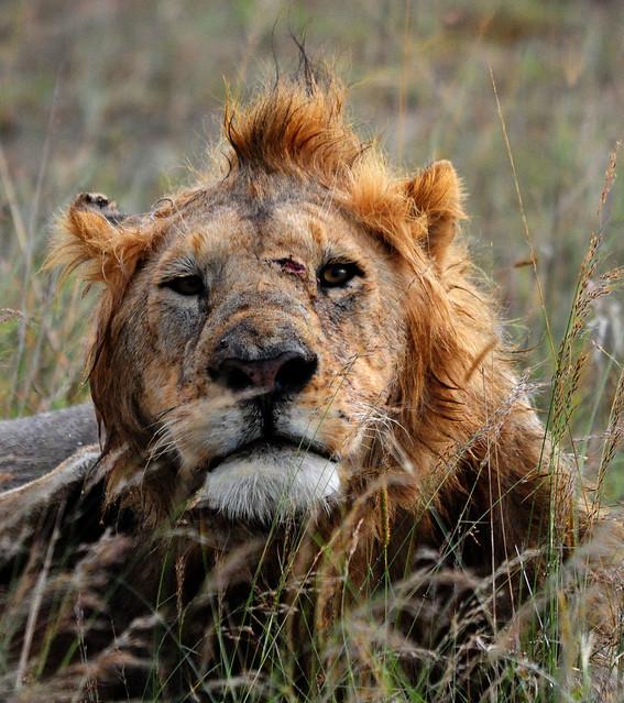 Lion Ass 21