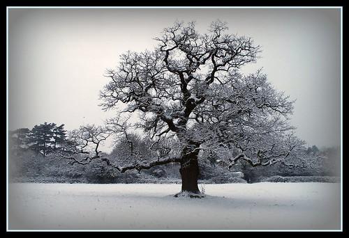 Frosty February / The Old Snowy Oak - 無料写真検索fotoq