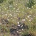 Small photo of Allium cernuum