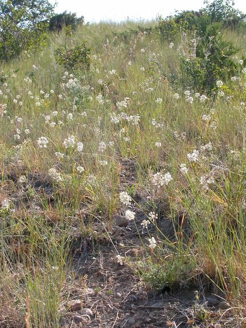 Header of Allium Cernuum