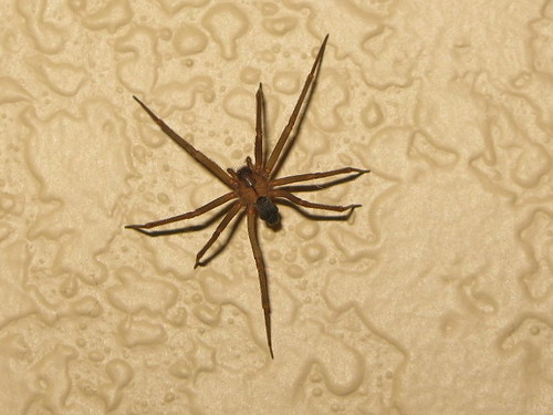 """Brown Recluse  (""""Fiddleback"""" or """"Violin"""") Spider on my Wall"""