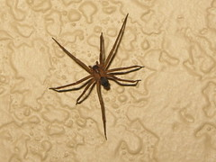 "Brown Recluse (""Fiddleback"" or ""Violin"") Spider on my Wall"