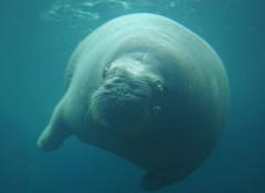 animal, marine mammal, sea, sirenia, manatee, marine biology,