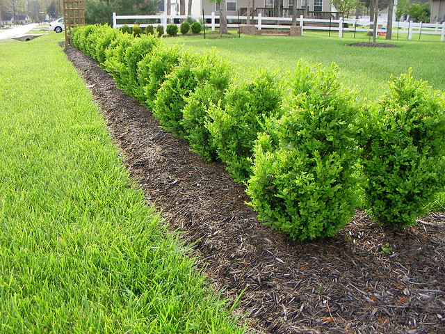Green Mountain Boxwood Hedge Flickr Photo Sharing