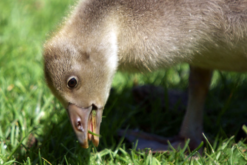Greylag Goose Gosling, Leighton Moss RSPB, May 2009