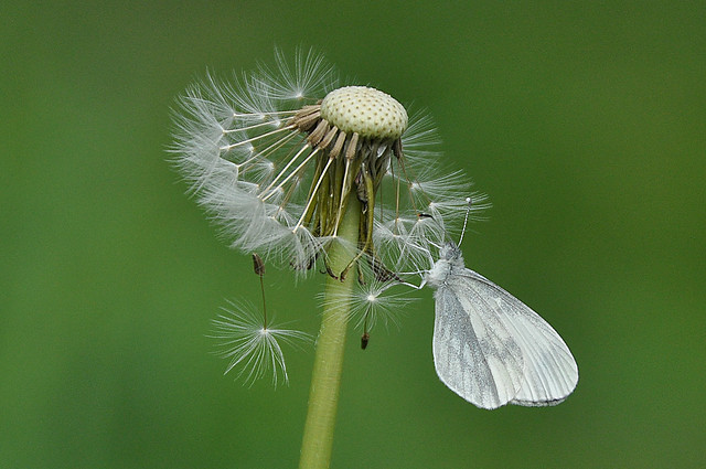 Wood White resting on a Dandelion head.