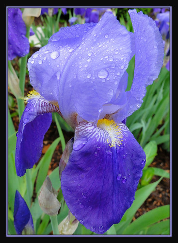 iris flower nature garden spring seasons bloom