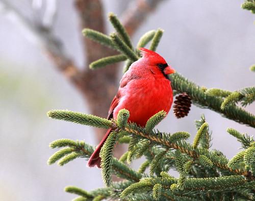 Northern Cardinal closeup