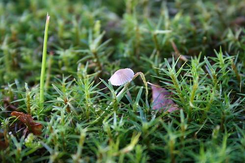 Moss mushroom IMG_0759