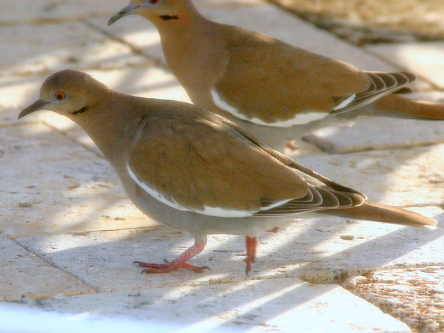 White-winged Doves 20090118