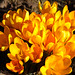 yellow crocusses