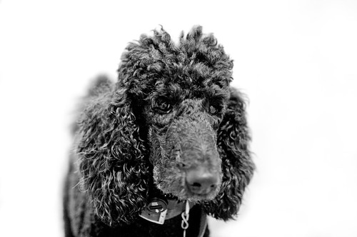 Poodles Hate Mitt Romney, too.