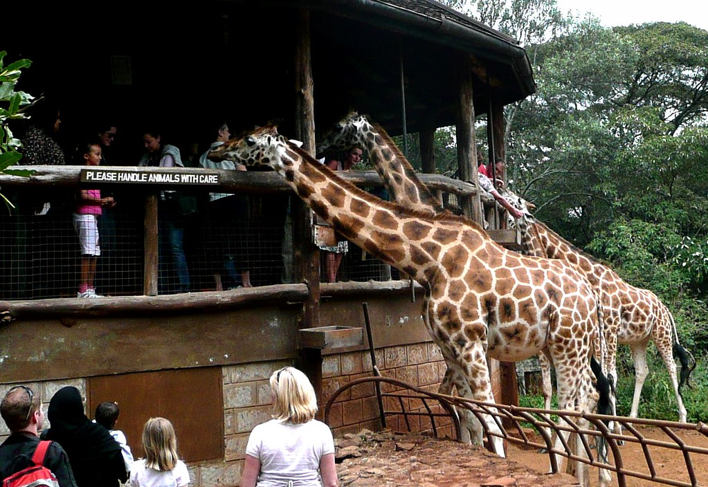 Have Fun With Giraffes In The Hotel Giraffe Manor