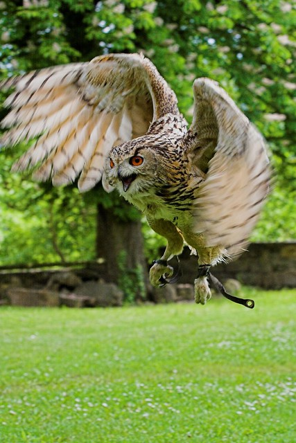 eagle eyes sunglasses  eagle owl during the