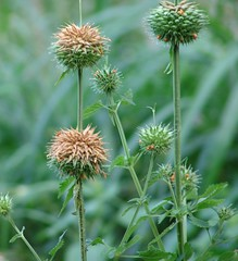 bee balm(0.0), silybum(0.0), purple coneflower(0.0), flower(1.0), thistle(1.0), wildflower(1.0), flora(1.0),