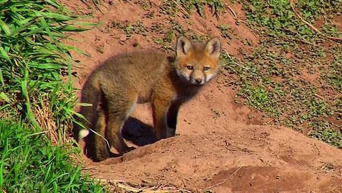 Cute Baby Fox by Martin Cathrae