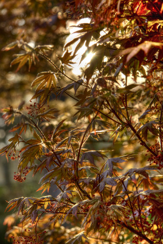 plants outdoor northcarolina japanesemaple hdr fayetteville canonxsi