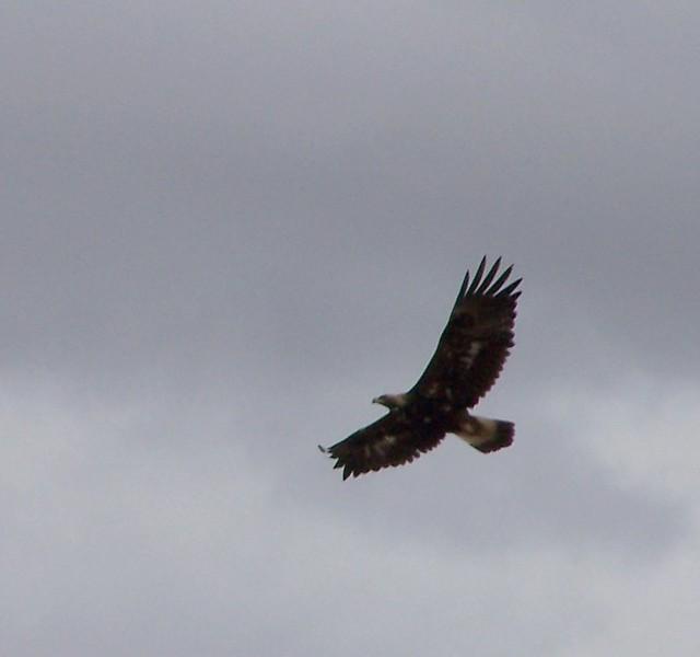 Juvenile golden eagle flickr photo sharing